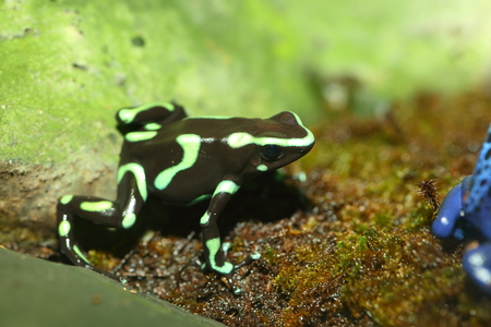 poison dart frogs: Three-striped Poison Dart Frog Epipedobates tricolor Stock Photo