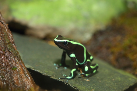 dart frog: Three-striped Poison Dart Frog Epipedobates tricolor Stock Photo