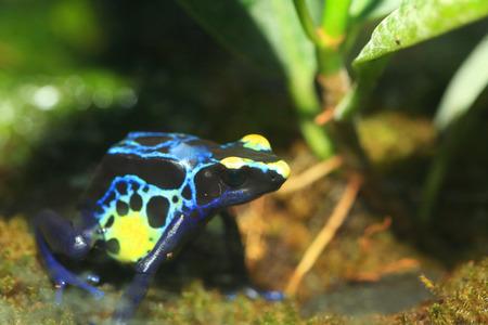 dendrobates: Dyeing poison dart frog Dendrobates tinctorius