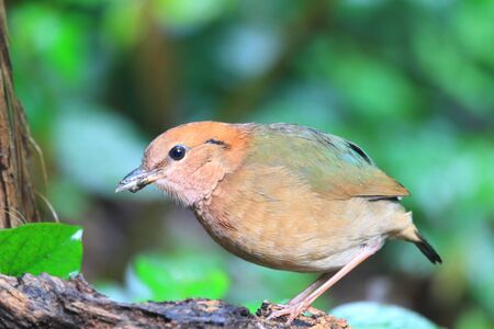 Rusty-naped pitta (Hydrornis oatesi) in Mae Wong National Park, Thailand