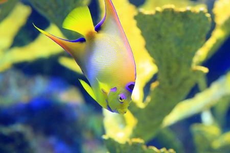 サザナミヤッコ Holacanthus メヒシバ 写真素材 - 42410691