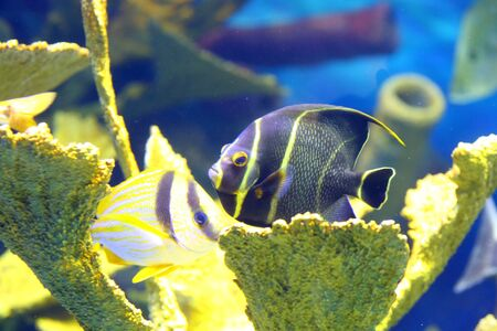 pomacanthus: French angelfish Pomacanthus paru Stock Photo