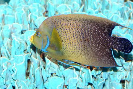 pomacanthus: Koran angelfish Pomacanthus semicirculatus in Japan