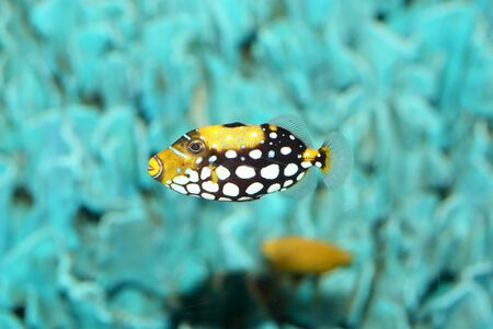 balistoides conspicillum: Clown triggerfish Balistoides conspicillum in Japan Stock Photo