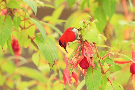 sunbird: Temmincks sunbird Aethopyga temminckii in Malaysia