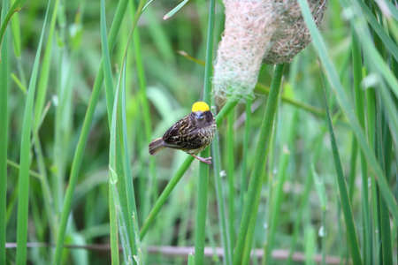 streaked: Streaked Weaver Ploceus manyar in Thailand Stock Photo
