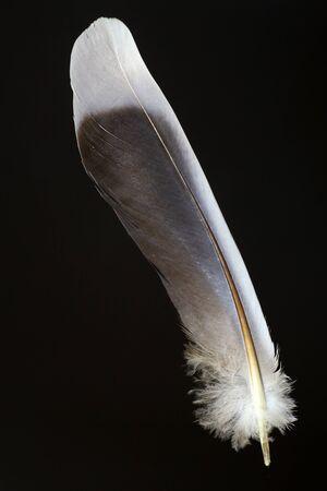turtle dove: Birds feather of Oriental turtle dove Streptopelia orientalis