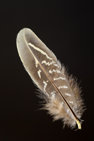 versicolor: Birds feather of Green Pheasant Phasianus versicolor Stock Photo