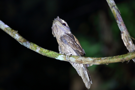 ocellatus: Marbled Frogmouth Podargus ocellatus in Papua New Guinea