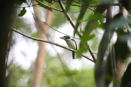 Nuova Guinea: Hook-billed Kingfisher Melidora macrorrhina in Papua New Guinea