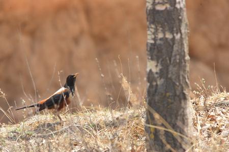 thrush: Kesslers thrush Turdus kessleri in China