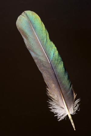 eclectus parrot: Feather of Eclectus Parrot Eclectus roratus