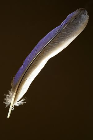 Feather of the Common Paradise Kingfisher Tanysiptera galatea