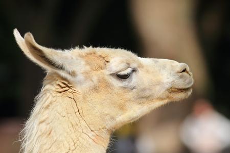 the lama: Lama Lama glama close up Stock Photo