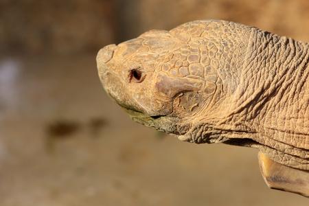sulcata: African spurred tortoise Geochelone sulcata