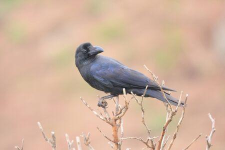 corvus: Large-Billed Crow Corvus macrorhynchos in Japan Stock Photo