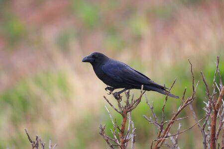 widlife: Large-Billed Crow Corvus macrorhynchos in Japan Stock Photo