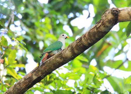 palawan: Black-chinned Fruit Dove Ptilinopus leclancheri in Palawan Island, Philippines