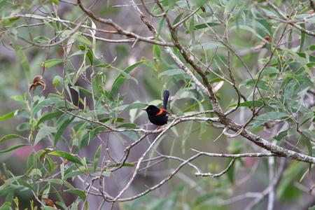 lamington: Red-backed fairywren Malurus melanocephalu in Australia Stock Photo