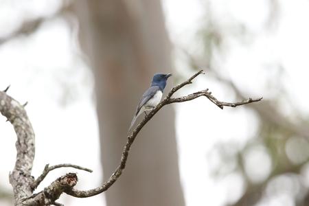 leaden: Leaden Flycatcher Myiagra rubecula in Australia