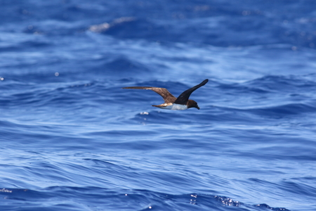 birding: Tahiti Petrel Pseudobulweria rostrata in Australia
