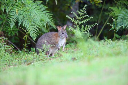 ラミントン国立公園、オーストラリアで Pademelons Thylogale thetis の赤首