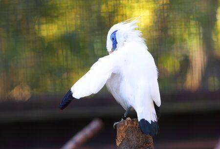 バリ: myna-Leucopsar rothschildi