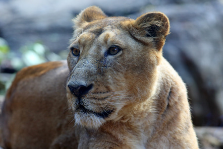 asiatic: Asiatic Lion Panthera leo persica Stock Photo