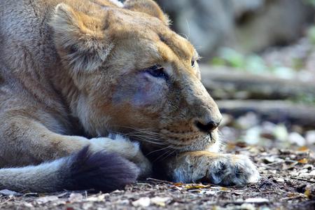asiatic: Asiatic Lion Panthera leo persica Stock Photo