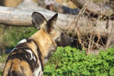 lycaon pictus: African hunting dog Lycaon pictus