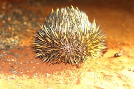 echidna: Short-beaked Echidna Tachyglossus aculeatu in Australia