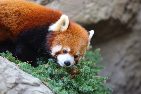 catlike: Red panda bear Ailurus fulgens