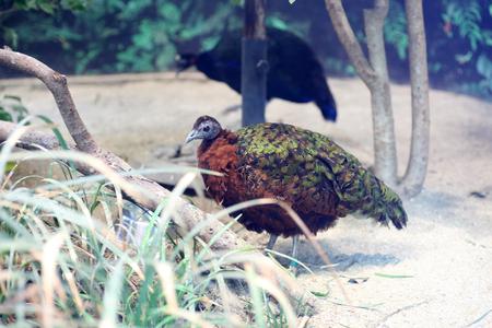 peafowl: Congo Peafowl Afropavo congensis Stock Photo