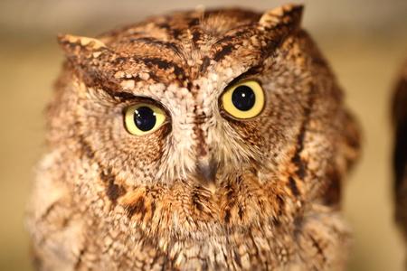 south african birds: African scops owl Otus senegalensis close up