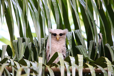 barred: Barred eagle-owl Bubo sumatranus in South Thailand