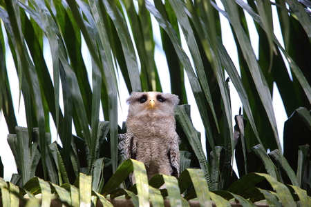 barred: Barred eagle-owl Bubo sumatranus in South Thailand