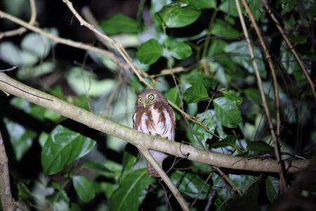owlet: Javan owlet (Glaucidium castanopterum) in Java, Indonesia Stock Photo