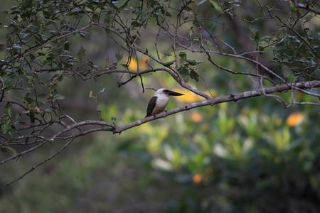 sulawesi: Great-billed kingfisher (Pelargopsis melanorhyncha) in Sulawesi, Indonesia