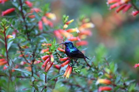 sunbird: Purple-banded Sunbird (Cinnyris bifasciata) in Rwanda