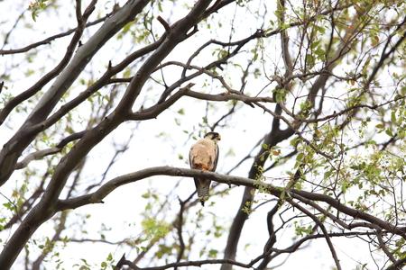 lanner: Lanner falcon (Falco biarmicus) in Nyungwe National Park, Rwanda