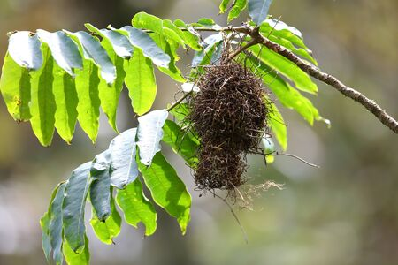 bicolor: Dark-backed Weaver (Ploceus bicolor) in Nyungwe National Park, Rwanda