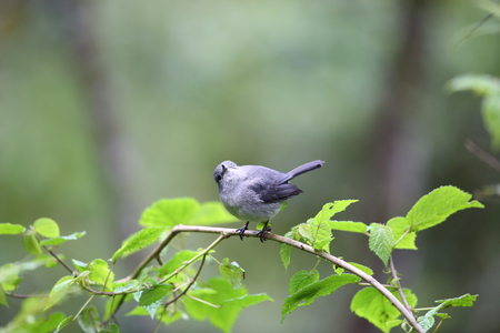 grey eyed: White-eyed Slaty-flycatcher (Melaenornis fischeri) in Nyungwe National Park, Rwanda Stock Photo