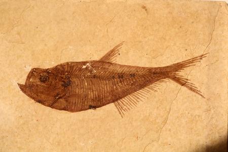Diplomystus Fossil Fish (diplomystus dentatus)