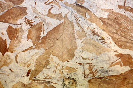 fossil: Fossil of Chinese chestnut leaf (Castanea mollissima)