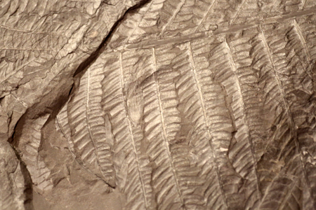 fossil: fossil of Cladophlebis isolated Stock Photo
