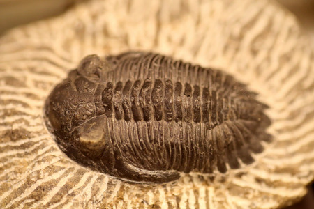 fossil: Fossil of Trilobite (Metacanthina sp)