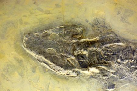 head stones: Fossil of Sclerocephalus hauseri