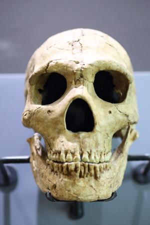 homo: Skull of Neandertal (Homo neanderthalensis) Stock Photo