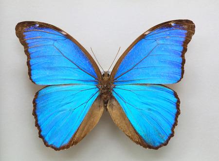 morpho menelaus: Isolated the Menelaus Blue Morpho (Morpho menelaus)