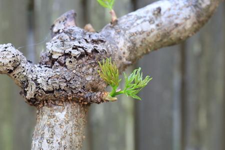 aralia: Japanese angelica-tree (Aralia elata) in Japan